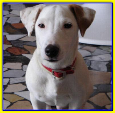 Giglio, Jack Russell Terrier